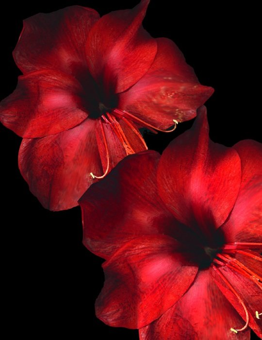 Two Amaryllis by Gayle Krughoff. Photo courtesy of Hill Center Galleries.