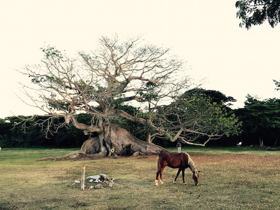Ceiba Tree courtesy of Otessa Ghadar.