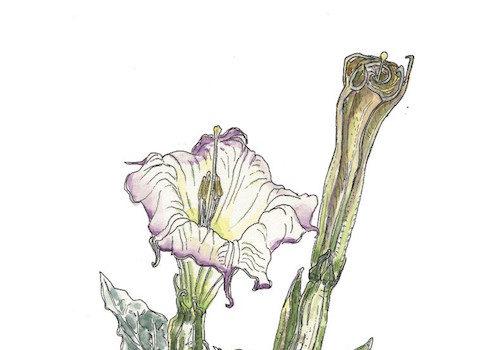 Wohlfarth Galleries Presents Donald Davidson Botanical Field Illustrations in Watercolor