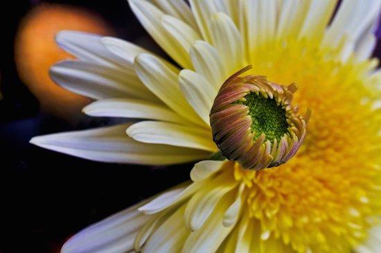 Eye-of-the-Blossom insert