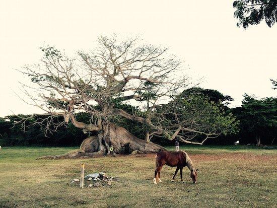 Ceiba Tree courtesy of Otessa Ghadar.