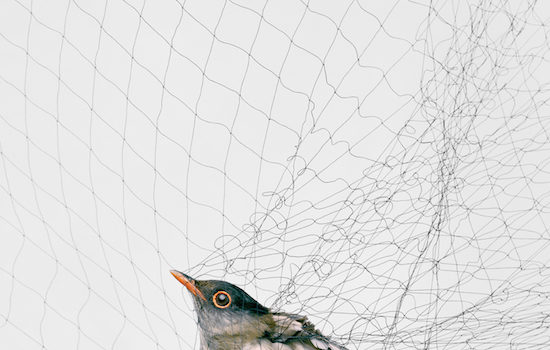 The Open Gallery Presents Todd R. Forsgren Ornithologicial Photographs